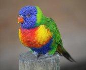 A Rainbow Lorikeet