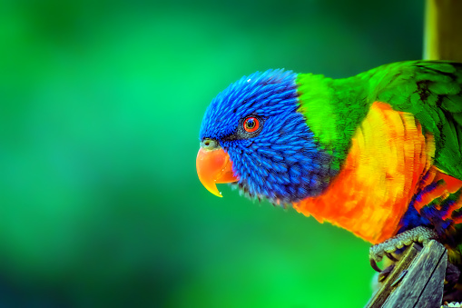 Close up portrait of a rainbow lorikeet