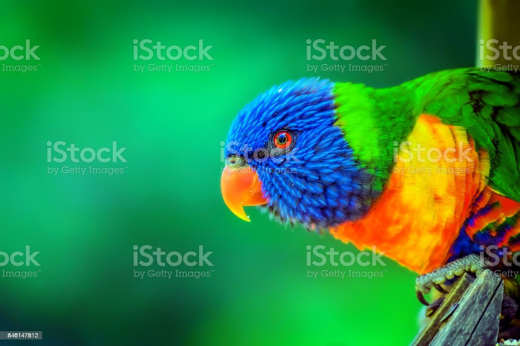 Rainbow Lorikeet  (Trichoglossus moluccanus) stock photo