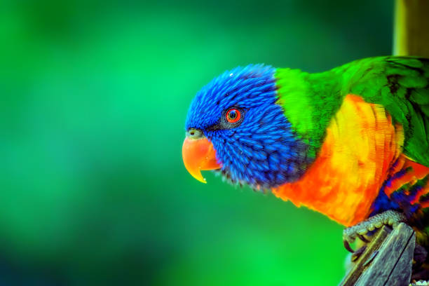 rainbow lorikeet  (trichoglossus moluccanus) - multi colored stock pictures, royalty-free photos & images