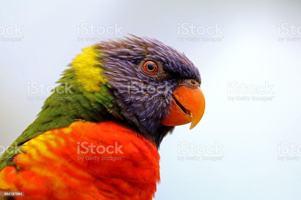Rainbow lorikeet royalty-free stock photo