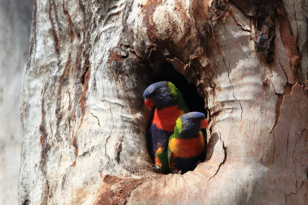 Rainbow Lorikeet, Queensland, Australie - Photo