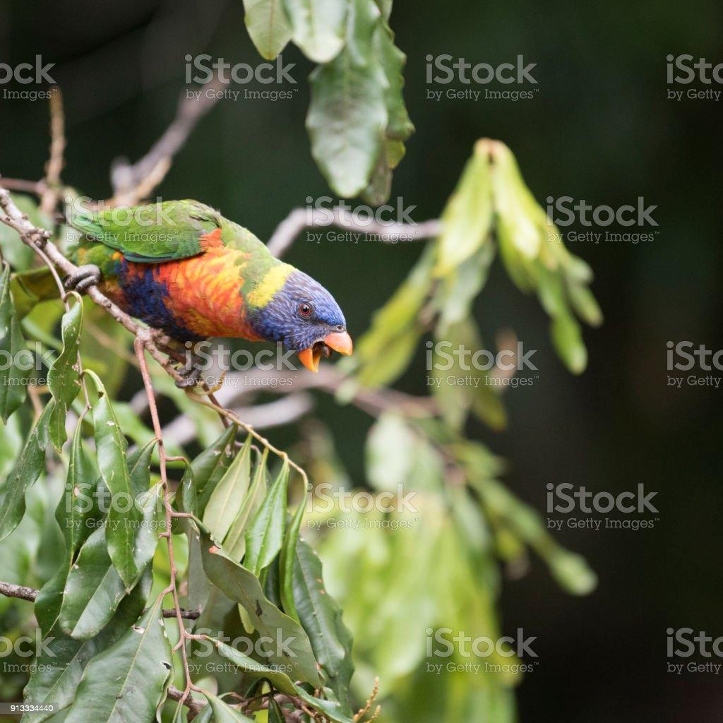 Loro arco iris (Trichoglossus Moluccanus) gritando - foto de stock