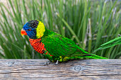 Rainbow lorikeet (Trichoglossus moluccanus) standing on an old wooden log, flurred green background.
