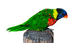 Rainbow lorikeet (Trichoglossus moluccanus) standing on an old wooden post, isolated on white background with clipping path.