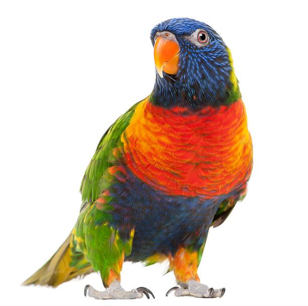 Rainbow lorikeet trichoglossus haematodus standing in front of white picture id119650769?b=1&k=6&m=119650769&s=612x612&w=0&h=fwl4nlelidr1b yqwamafnbaped5xrgmwak8yrj5wri=