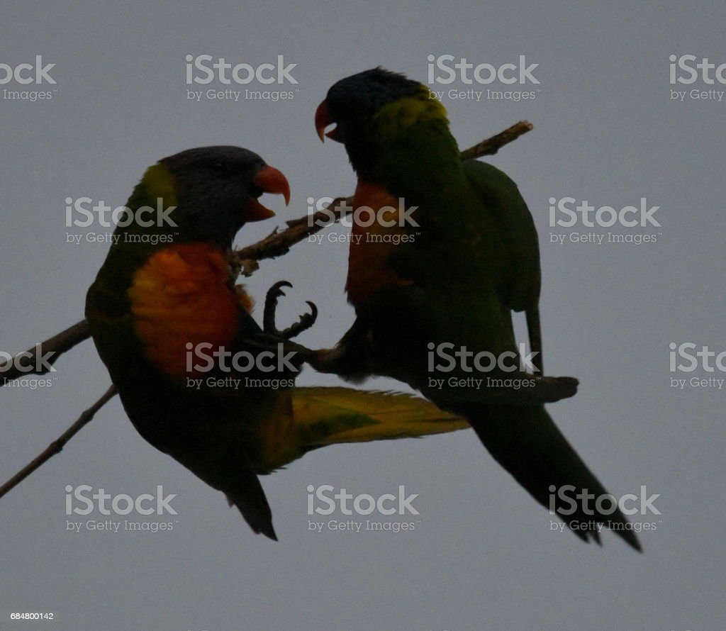 Rainbow lorikeets fighting stock photo