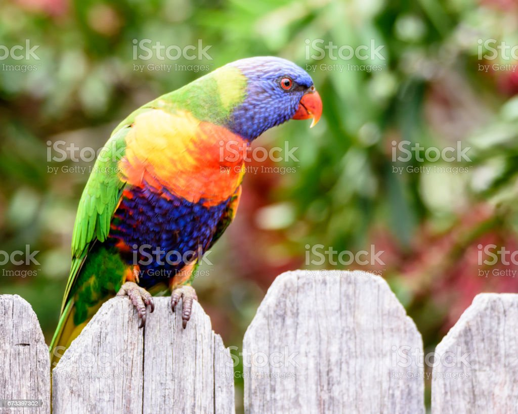 Rainbow Lorikeets in the bottlebrush stock photo