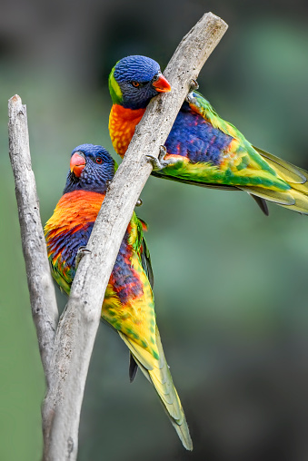 Two Australian native rainbow lorikeets perched on a branch