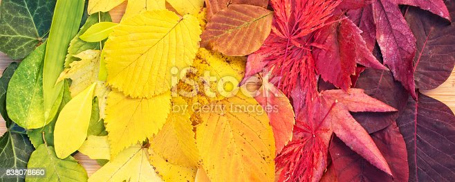 istock Rainbow of colorful autumnal leaves, panorama 838078660