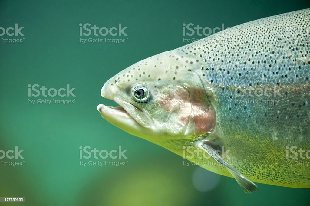 Rainbow or Salmon trout  (Oncorhynchus mykiss) stock photo
