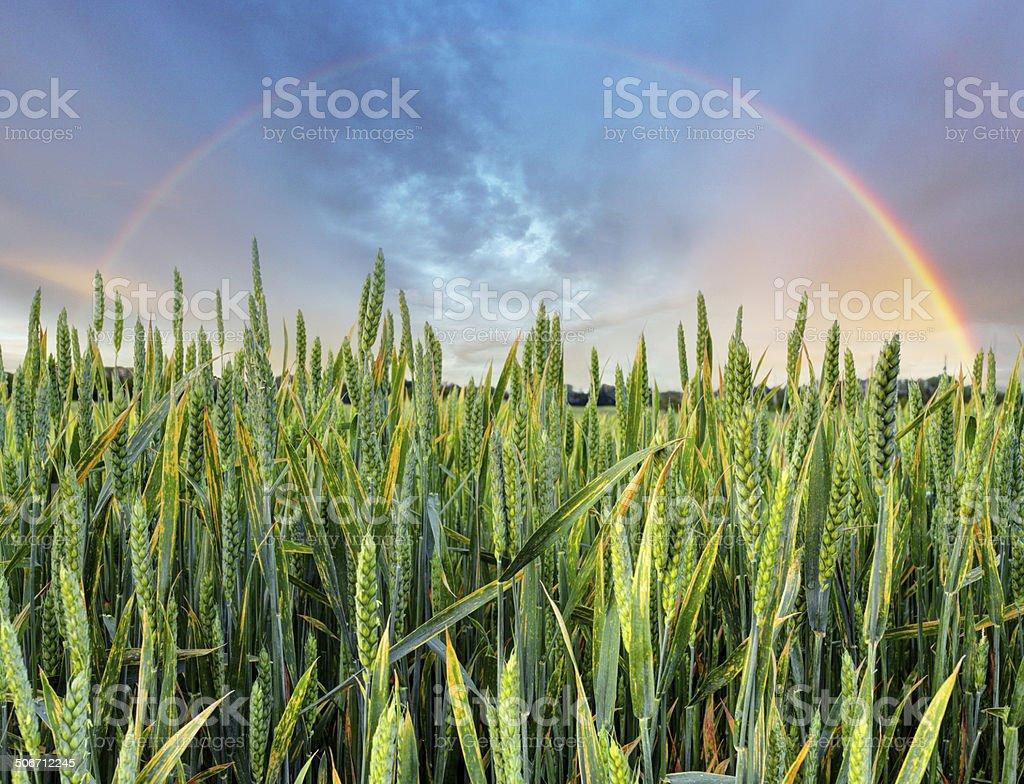 Rainbow over green wheat field stock photo