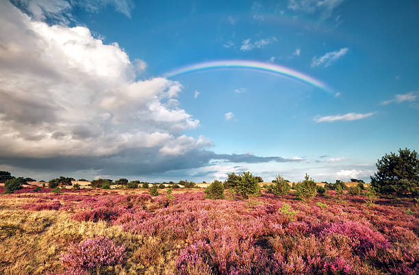 rainbow over meadow with flowering heather foto