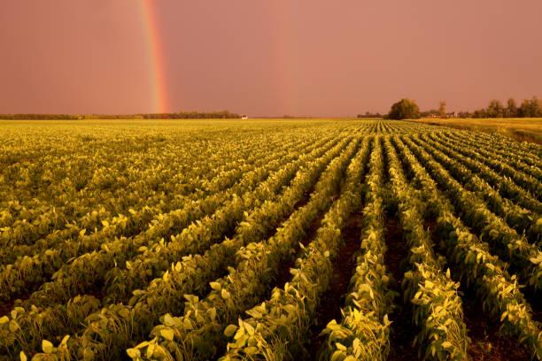 Rainbow Over Soybean Field