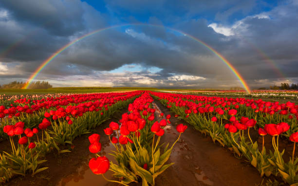 Rainbow over the Tulip Field - foto stock
