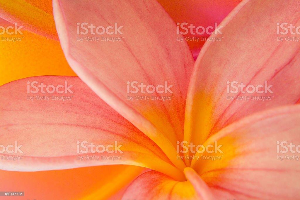 Rainbow petals royalty-free stock photo