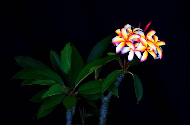 Rainbow Plumeria stock photo
