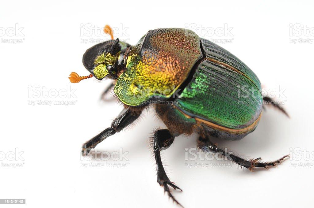 rainbow scarab royalty-free stock photo