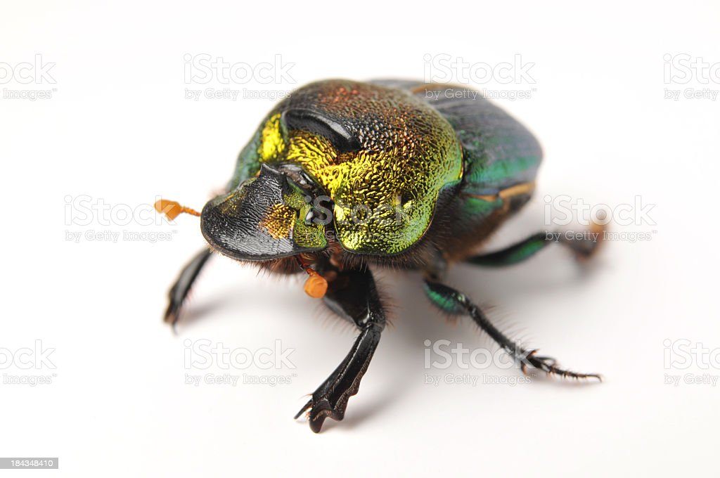 rainbow scarab royalty-free stock photo