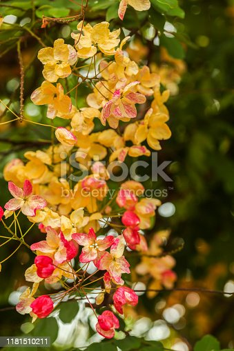 Rainbow Shower Tree flowers (Cassia x nealiae) at kauai.