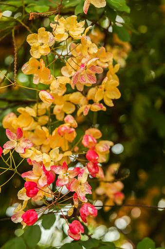 Rainbow Shower Tree flowers (Cassia x nealiae) at kauai.