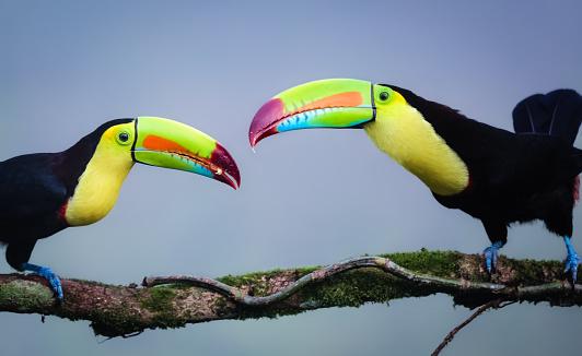 Ein junger Regenbogen Tukan wird gefuettert