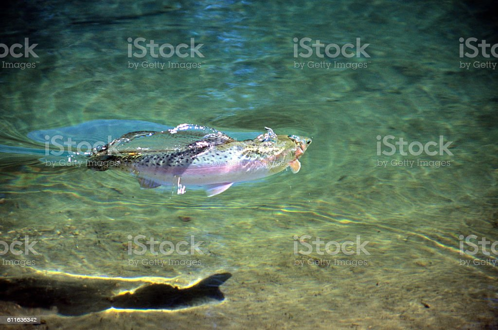 Rainbow Trout 1161 stock photo