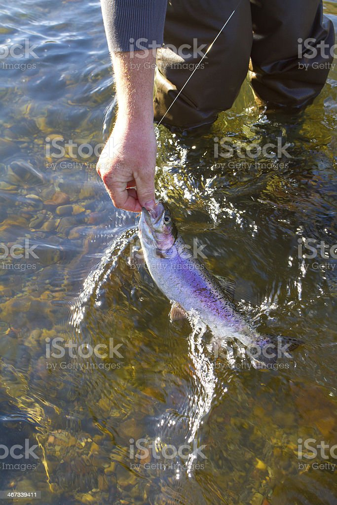 Rainbow Trout Catch Release royalty-free stock photo