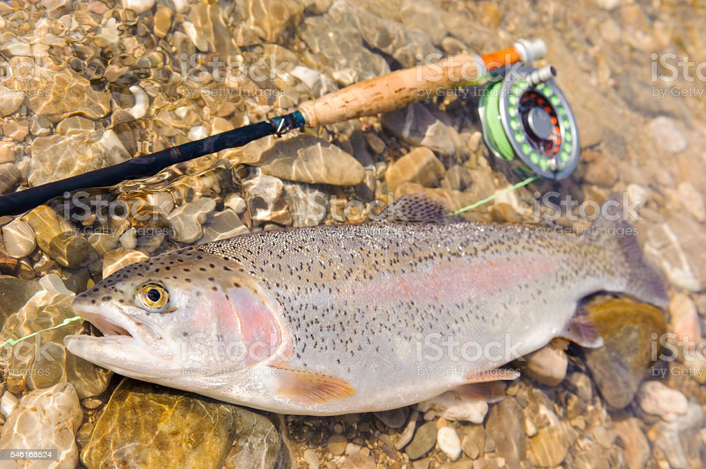 rainbow trout caught by flyfishing stock photo