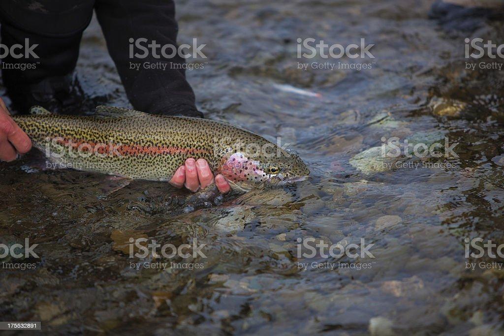Rainbow Trout Caught Fly Fishing in Alaska stock photo