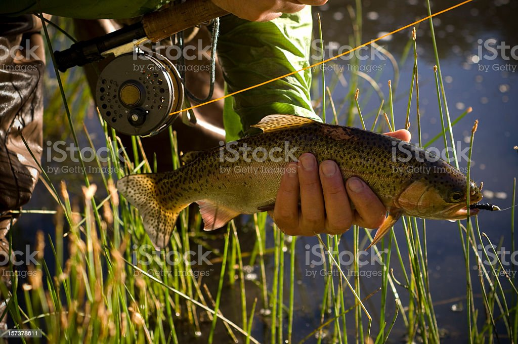 Rainbow trout Caught on a fly royalty-free stock photo