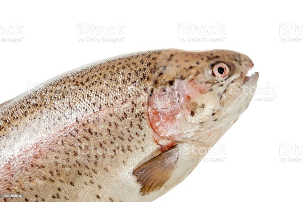 Rainbow trout head over white royalty-free stock photo