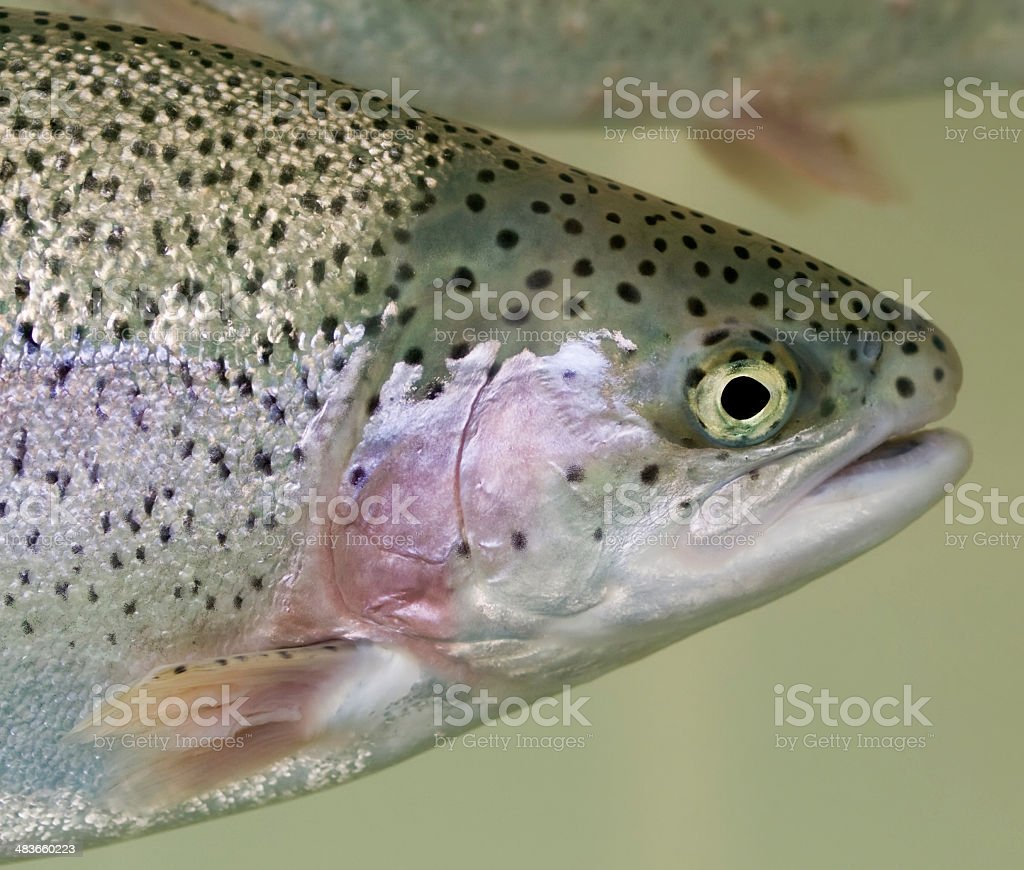 Rainbow Trout Head Swimming Green Background Fish Belly above royalty-free stock photo