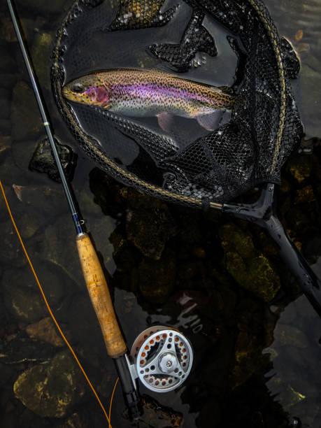 truta arco-íris em uma rede - pescaria com iscas artificiais - fotografias e filmes do acervo