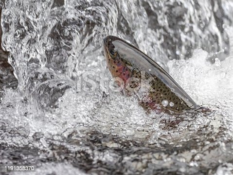 Head shot taken close up of a Rainbow Trout jumping at small waterfall. A popular fish in Oregon lakes and rivers.