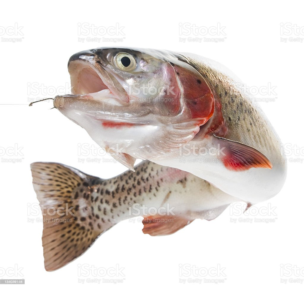 Rainbow trout on a hook stock photo