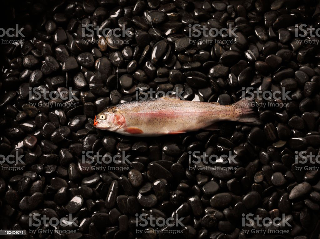 Rainbow Trout on Dark Pebbles royalty-free stock photo