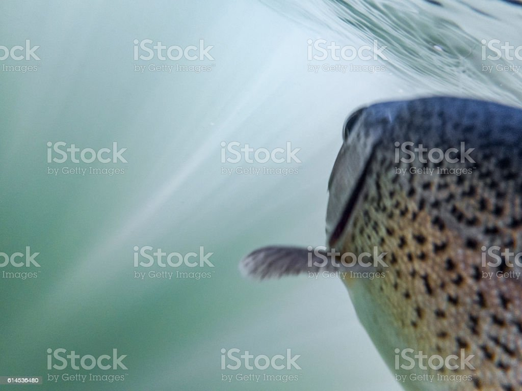 Rainbow Trout Oncorhynchus mykiss Hooked Soft Focus and Colors Underwater stock photo