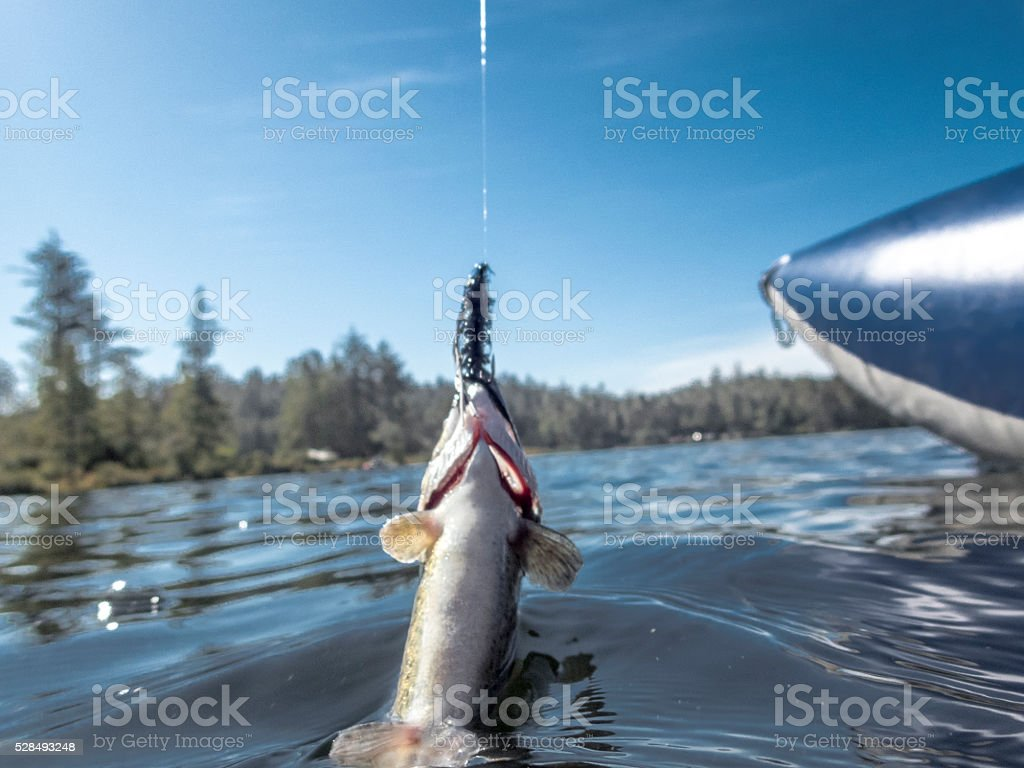 Rainbow Trout Oncorhynchus mykiss Hooked with Black Fly stock photo