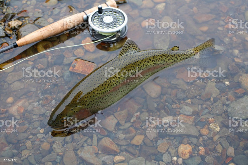 Rainbow Trout Oncorhynchus mykiss stock photo