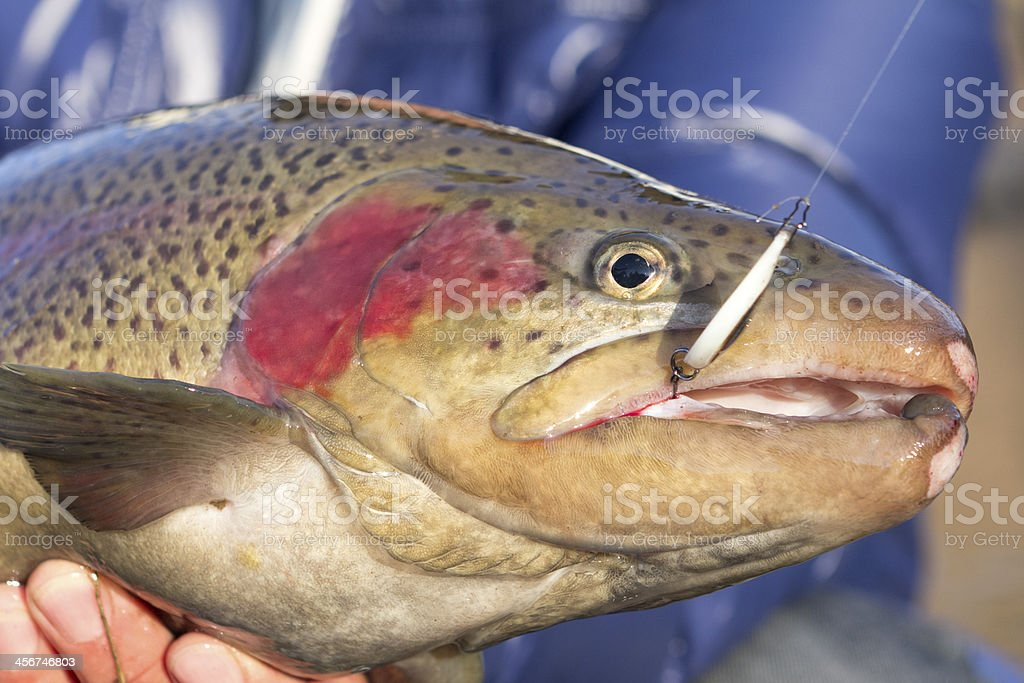 Rainbow trout royalty-free stock photo
