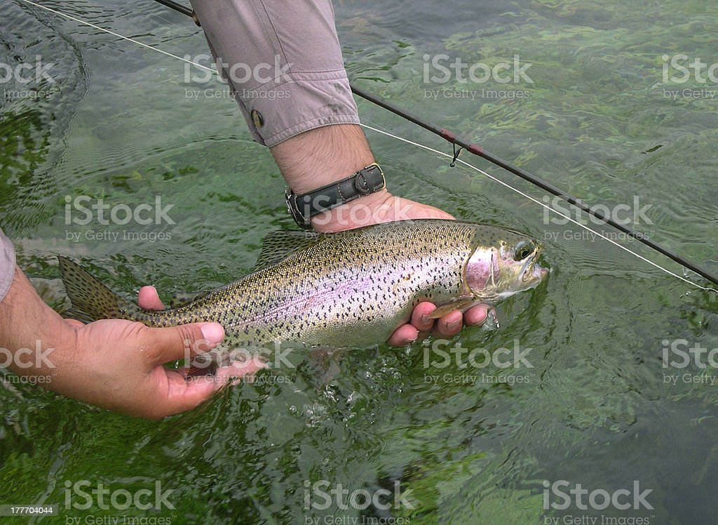 Rainbow trout release royalty-free stock photo
