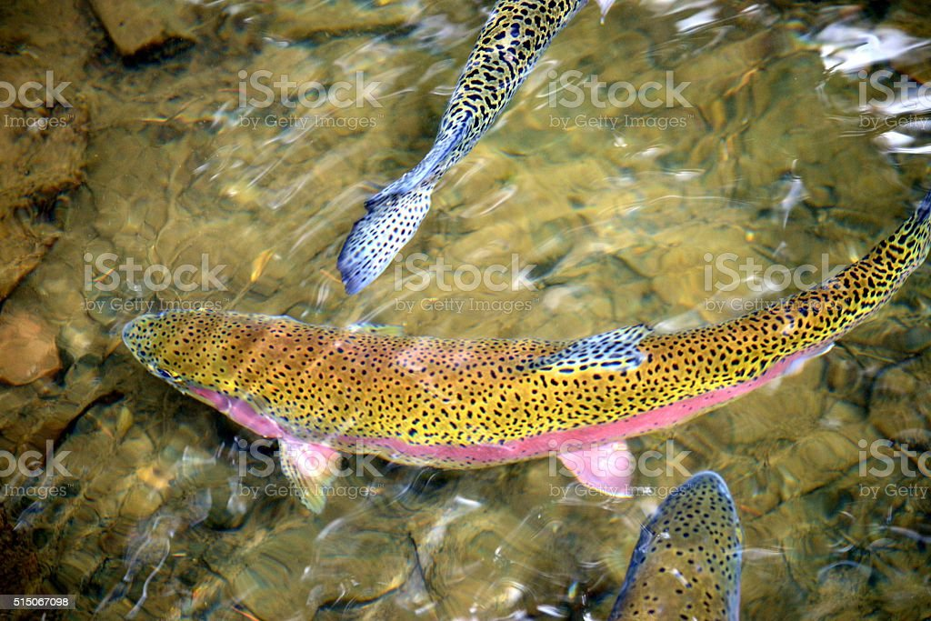 Rainbow Trout Swimming stock photo