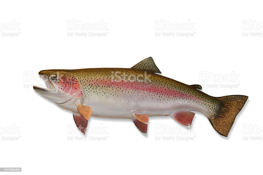 Rainbow Trout with Clipping Path stock photo