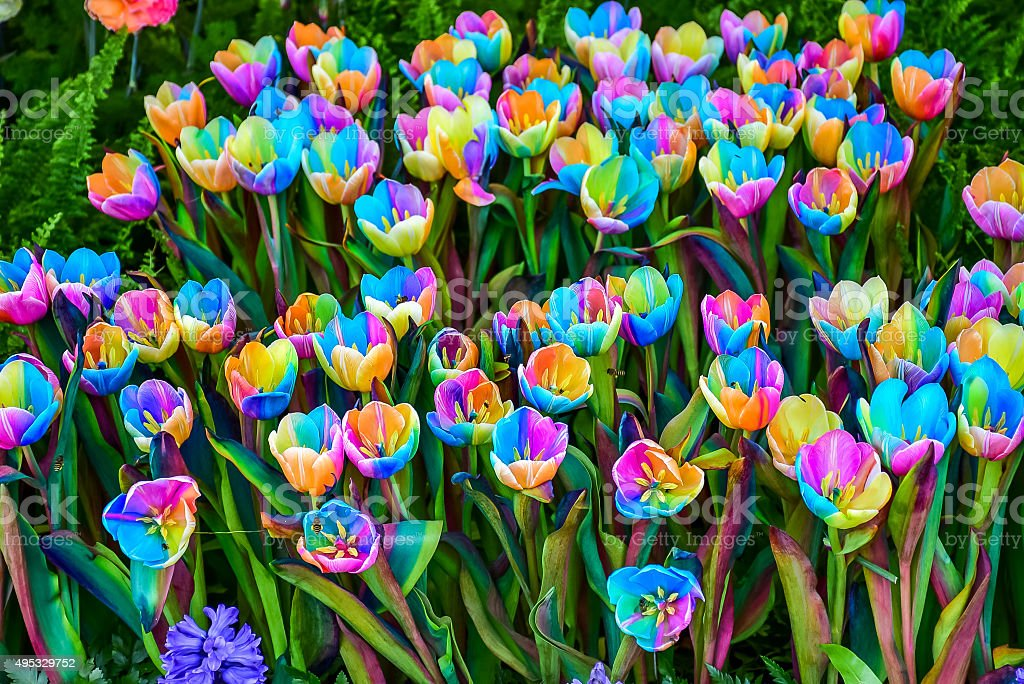Rainbow tulip stock photo