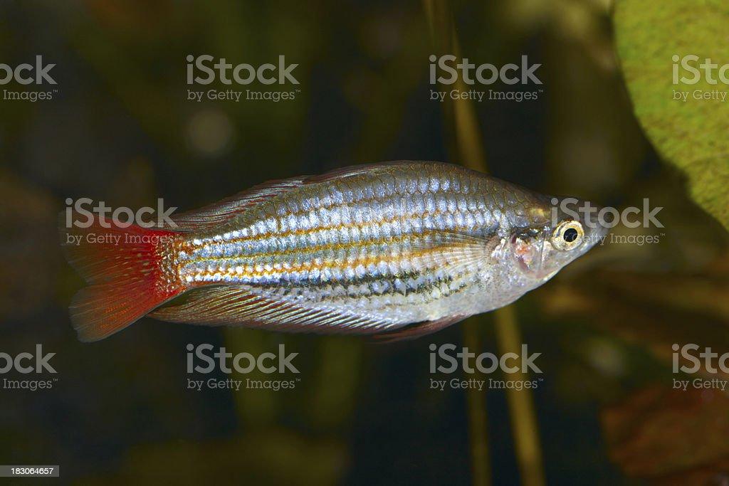 Rainbowfish. Melanotaenia trifasciata. royalty-free stock photo