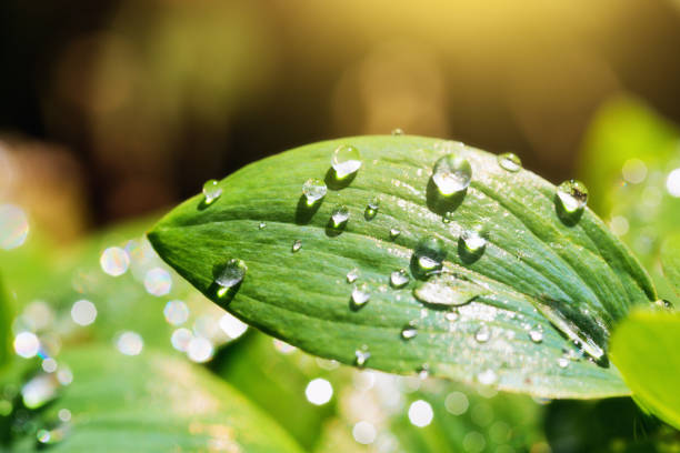Raindrop or dew on a green spring leaf stock photo
