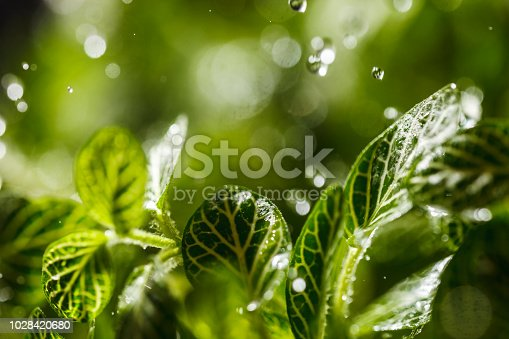 Close-up image of raindrops falling on green leaves.