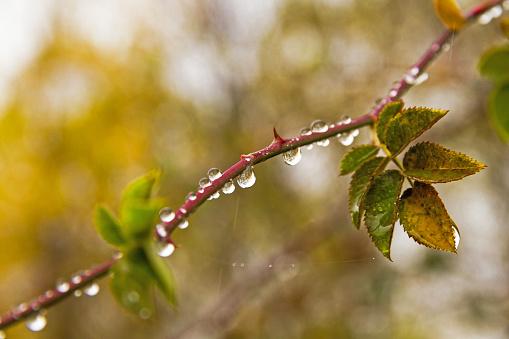 Raindrops hanging on branch of wild rose - Gotas de lluvia colgando de rama de rosal silvestre
