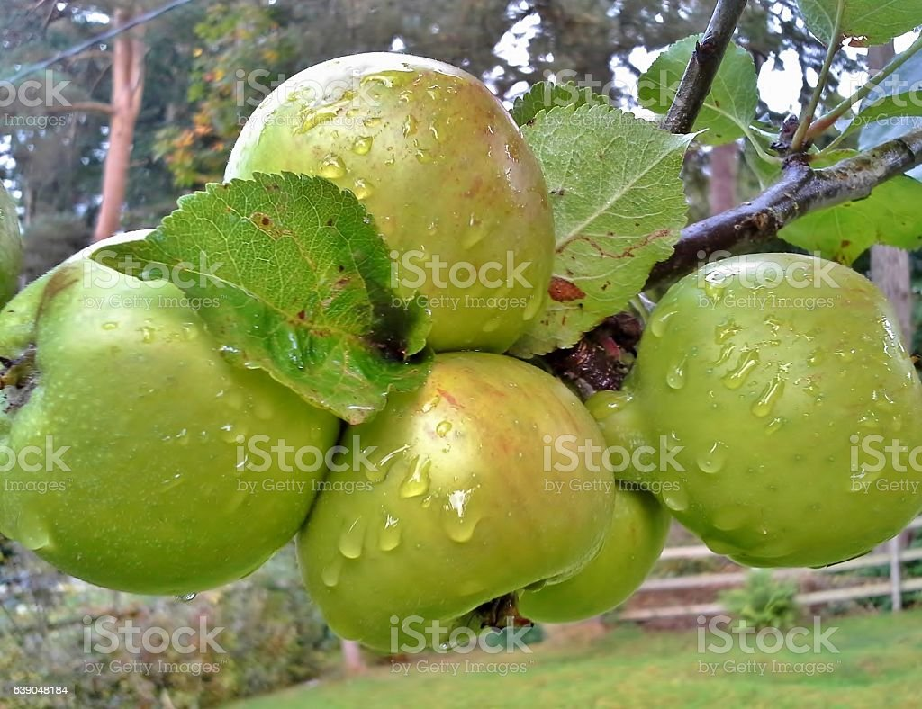 Raindrops on a Bunch of Bramley Apples stock photo